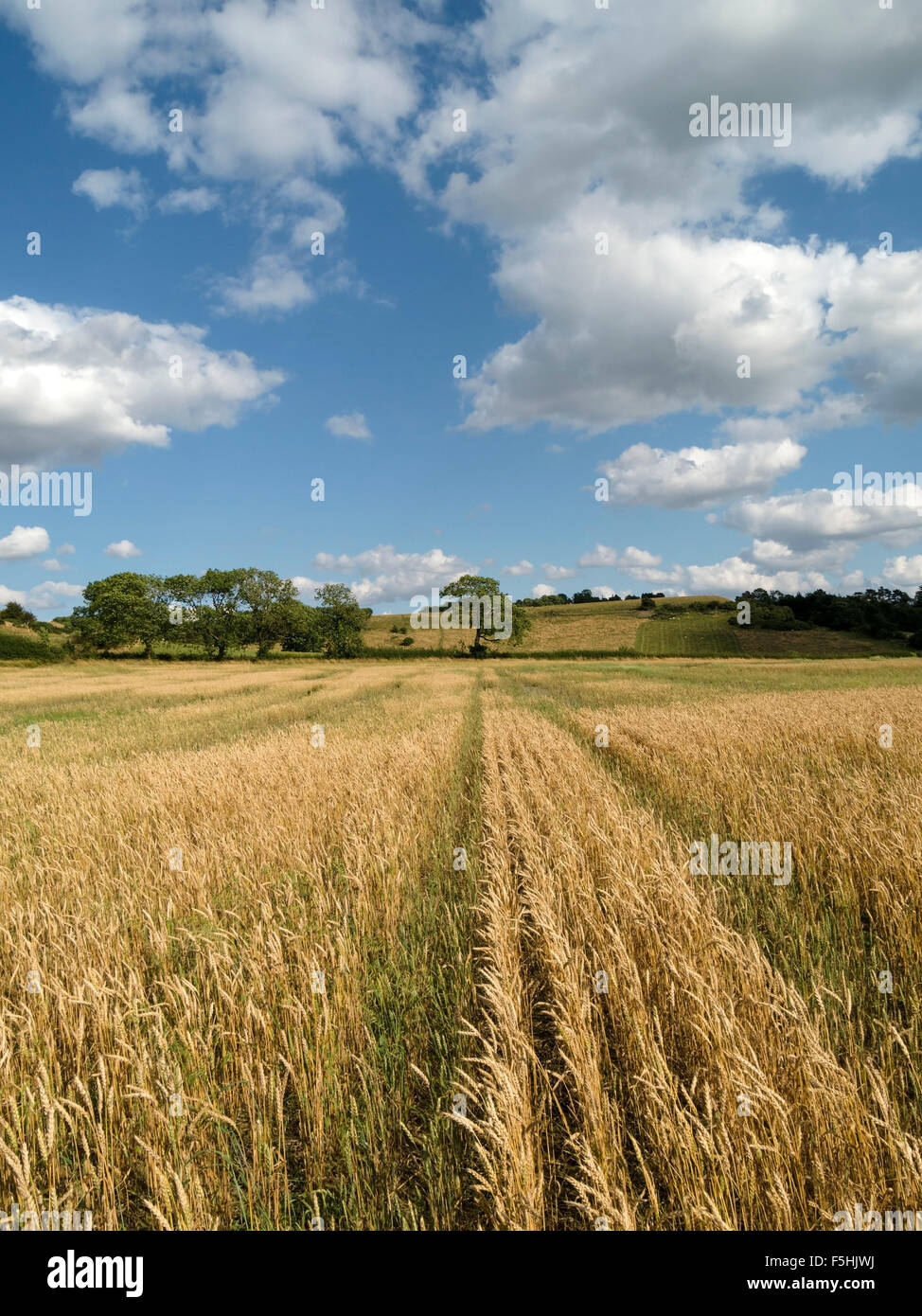 Ripe yellow wheat field, Leicestershire with blue sky above, England, UK - Stock Image