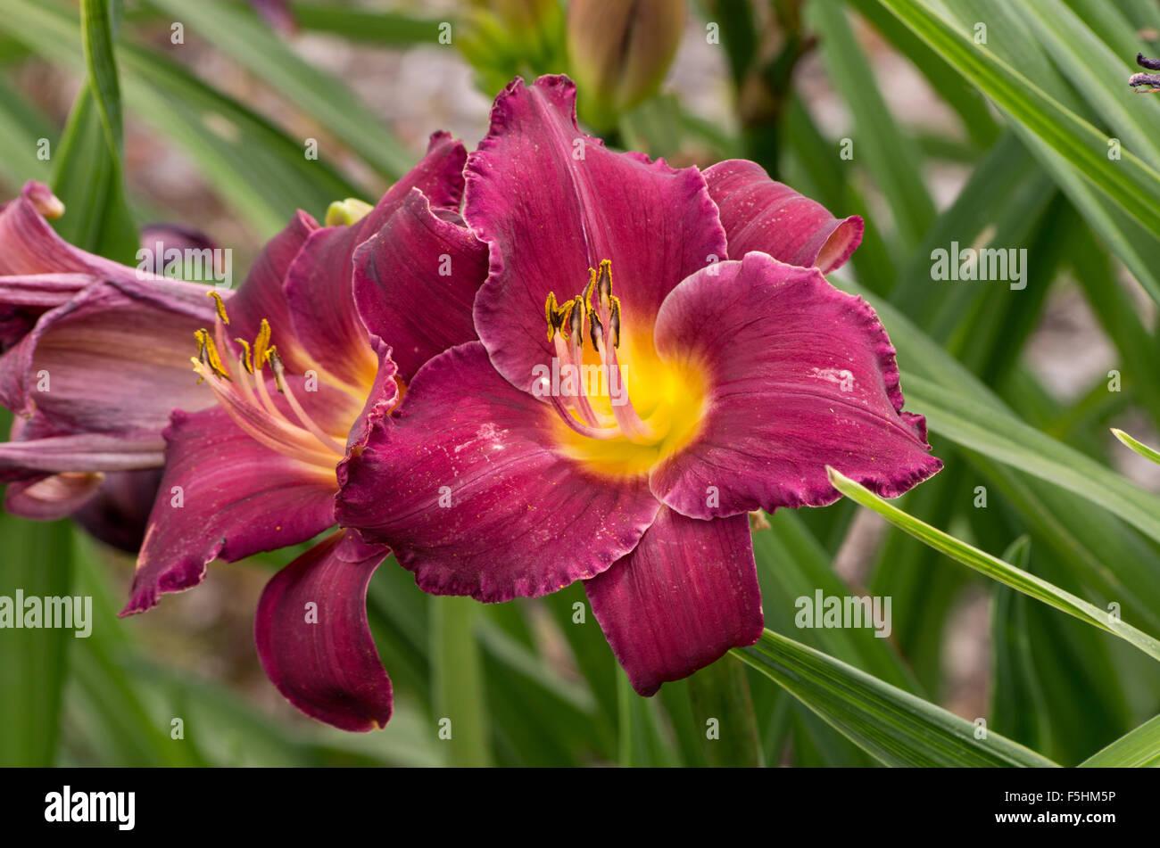 Hemerocallis Georgette Belden Stock Photo