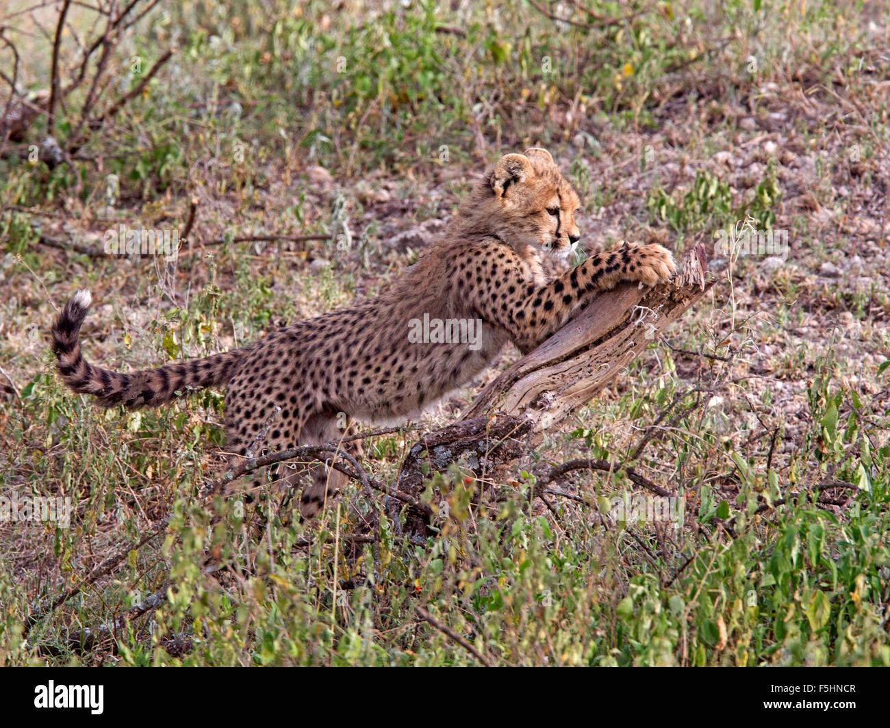 Cheetah cub on tree stump Stock Photo