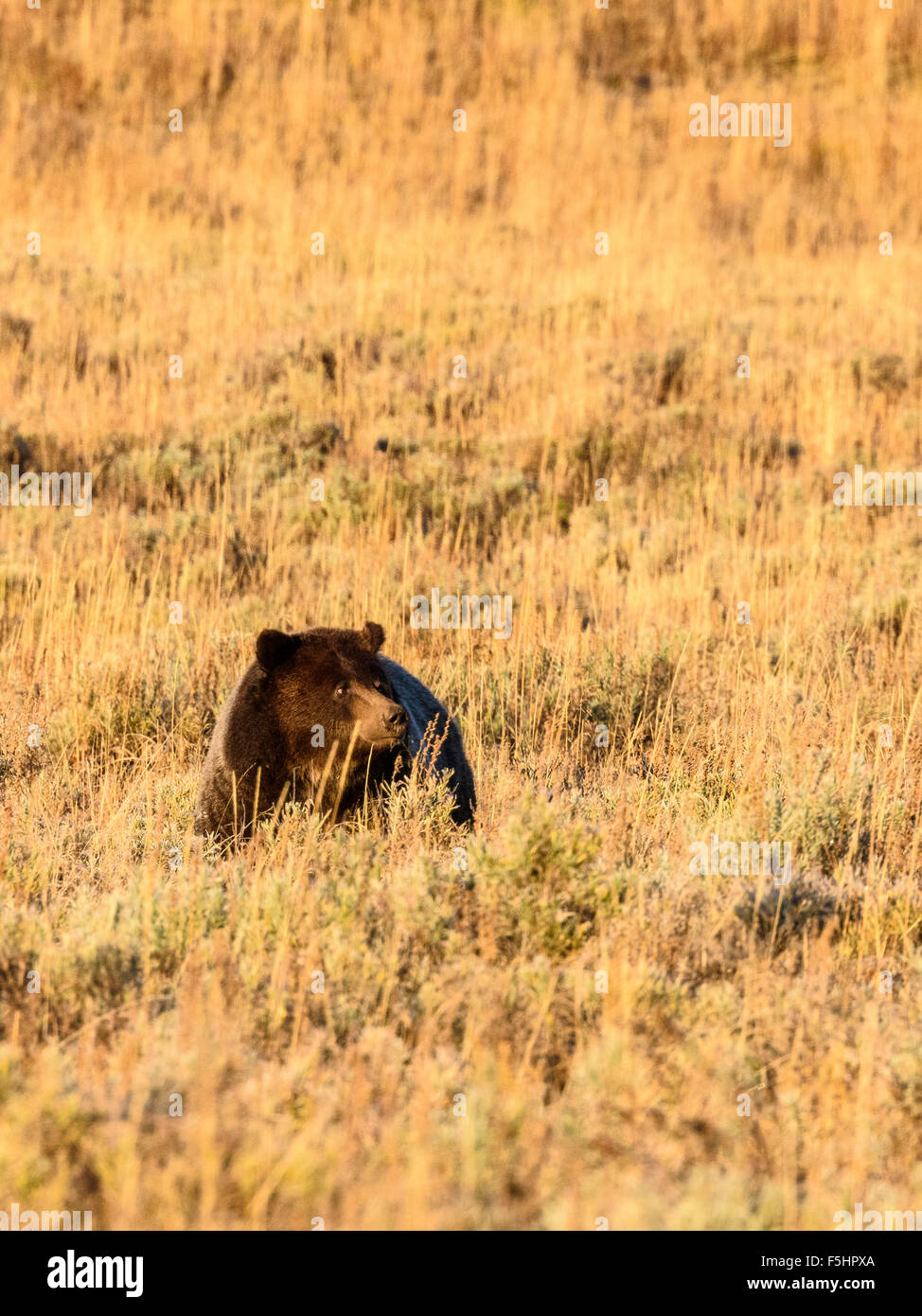 Brown Bear (Grizzly), Ursus arctos, Hayden Valley, Yellowstone National Park, Wyoming, USA - Stock Image