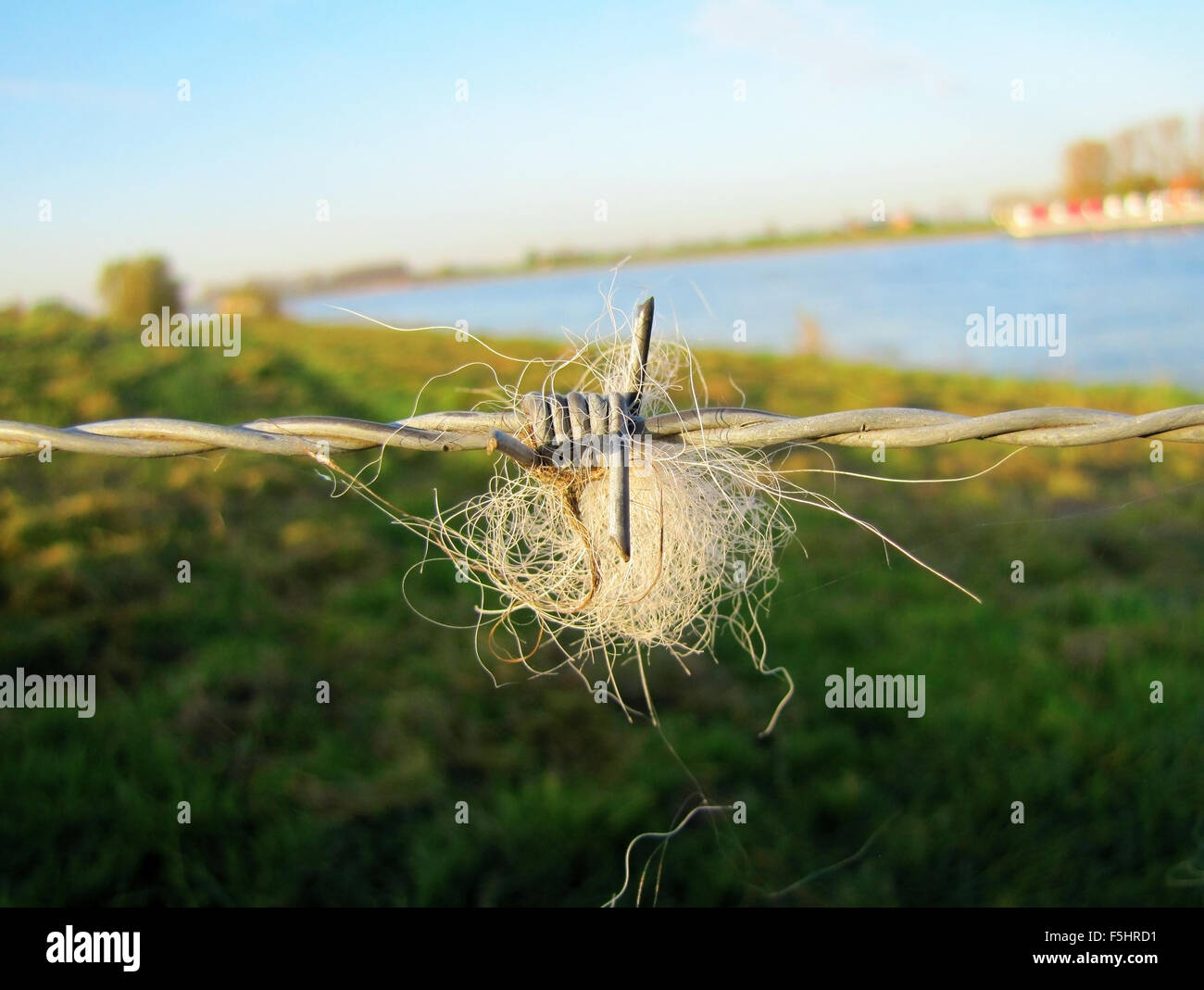 Barb wire fence close up with hair or fur - Stock Image
