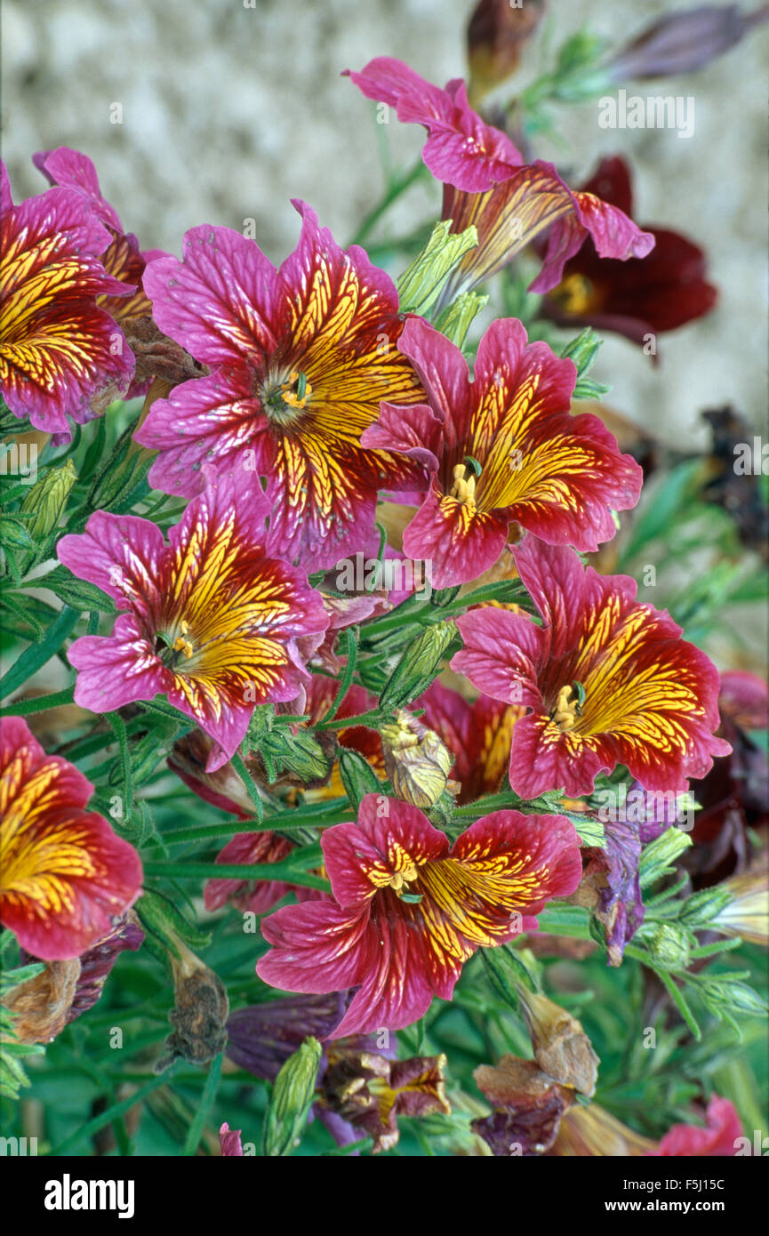 Close-up of deep pink Salpiglossis with yellow markings - Stock Image