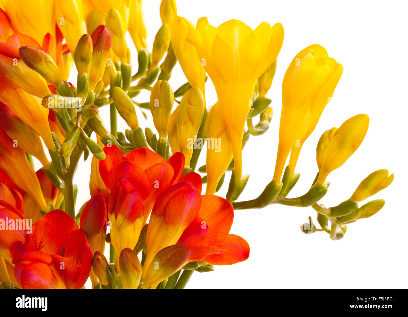 Orange and yellow Freesia flowers on a white back ground - Stock Image
