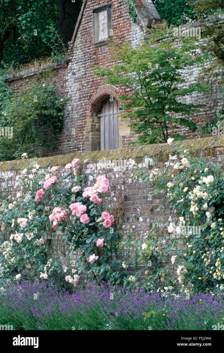 Pink and white climbing rose on an old brick wall above a border of lavender  in large country garden Stock Photo