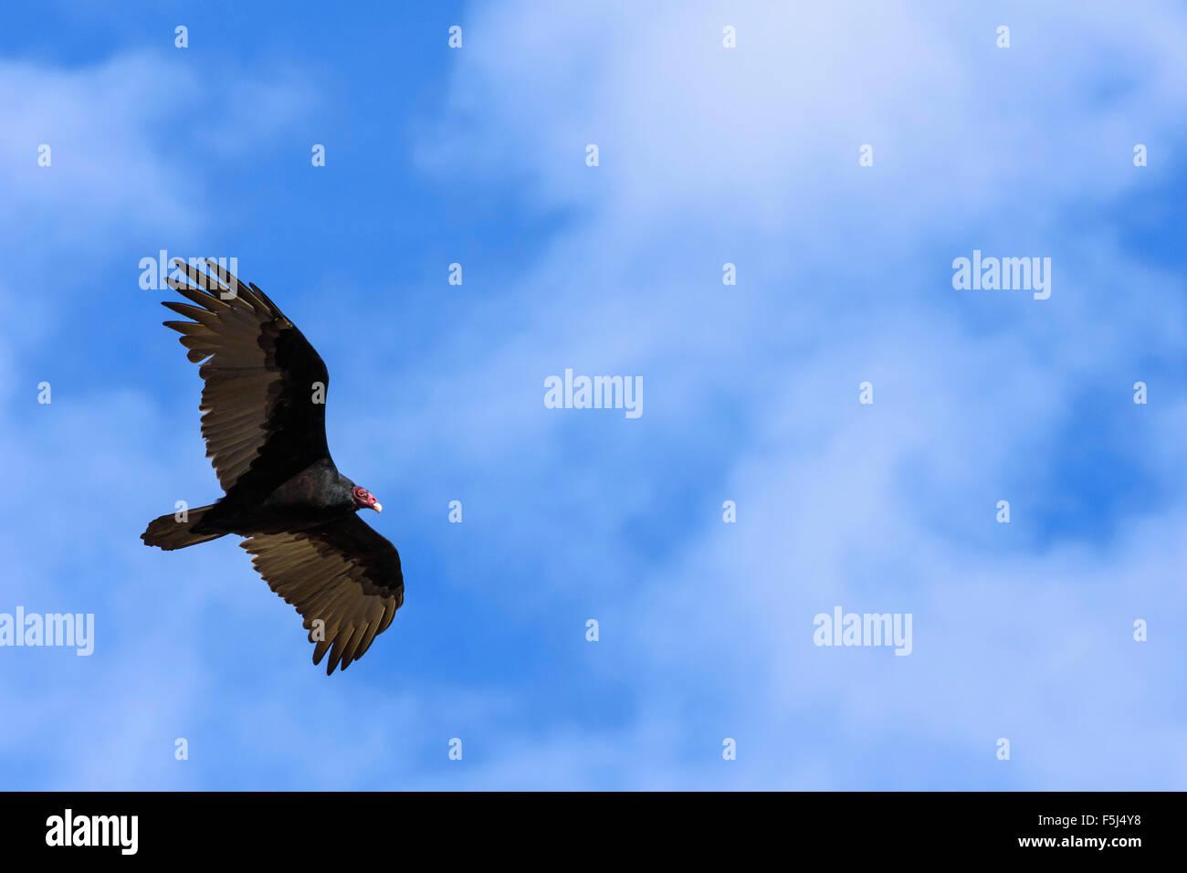 Turkey Vulture, Cathartes aura, Grand Tetons National Park, Wyoming, USA - Stock Image