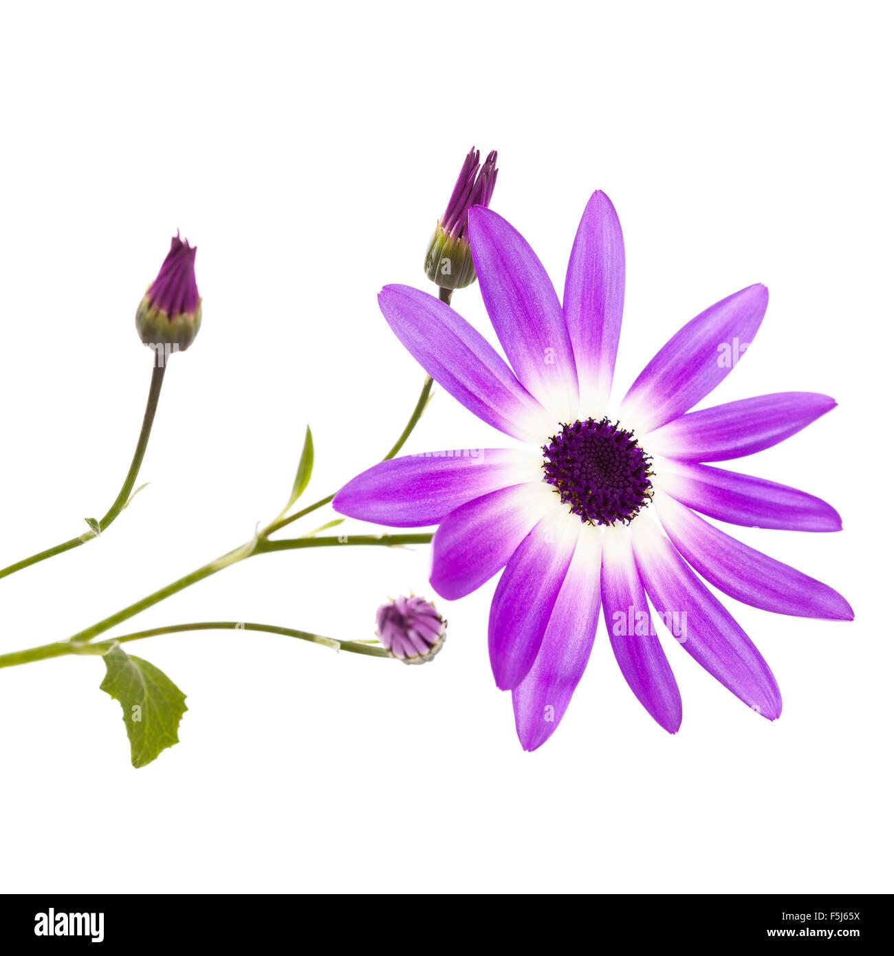 A Purple Cineraria Daisy flower - Stock Image