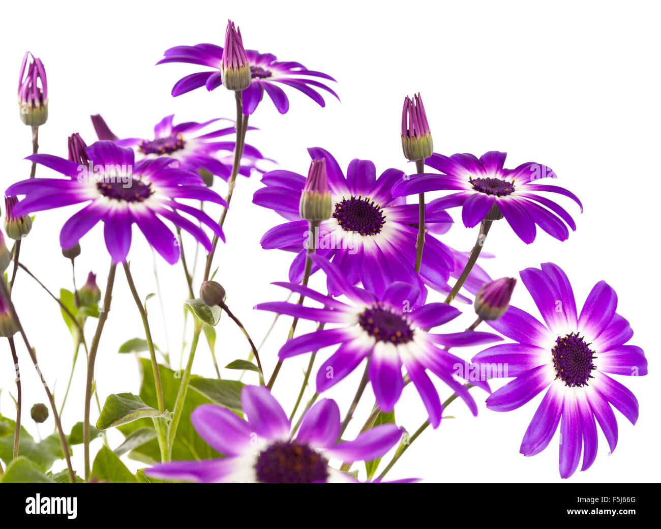 Two tone flowers stock photos two tone flowers stock images alamy purple and blue daisy like flowers stock image izmirmasajfo