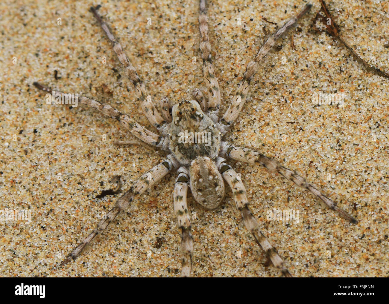 Spiders Of Michigan Stock Photos Spiders Of Michigan Stock Images