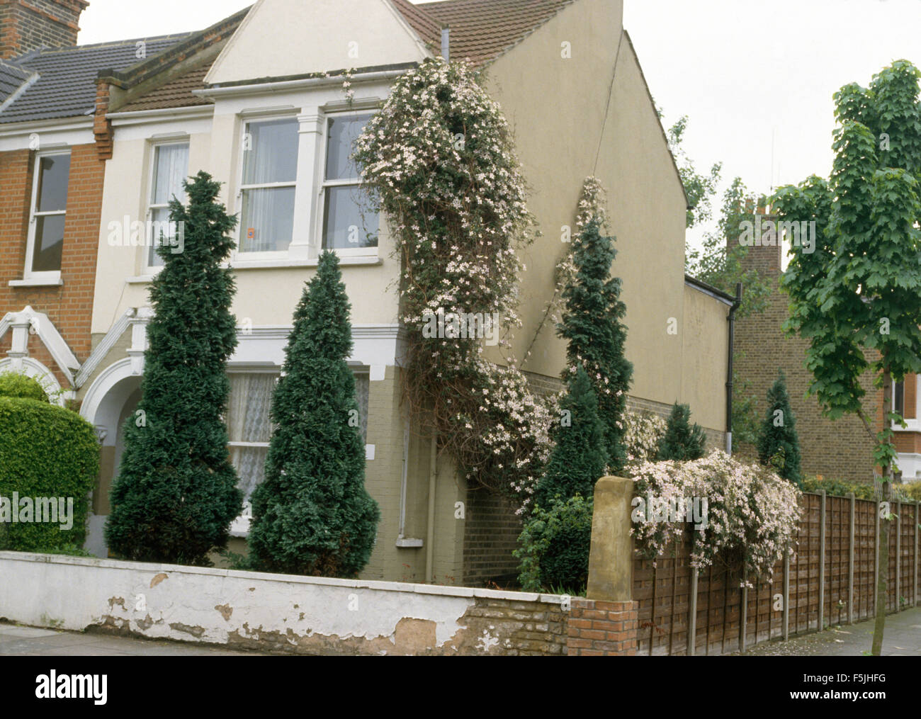 Conifers growing in front garden of semi-detached Edwardian townhouse with a pink clematis on the wall - Stock Image