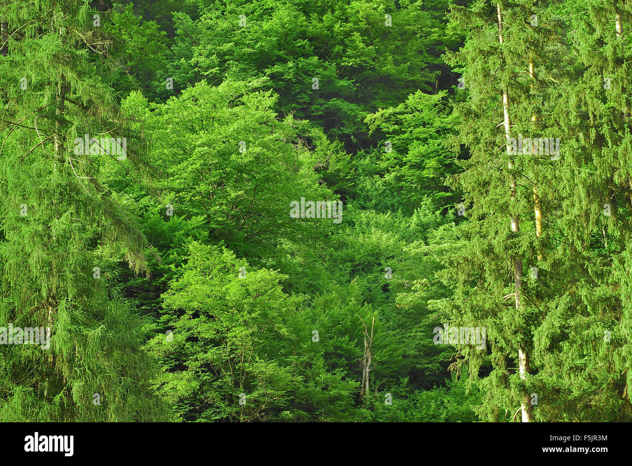 green forest canopy - Stock Image