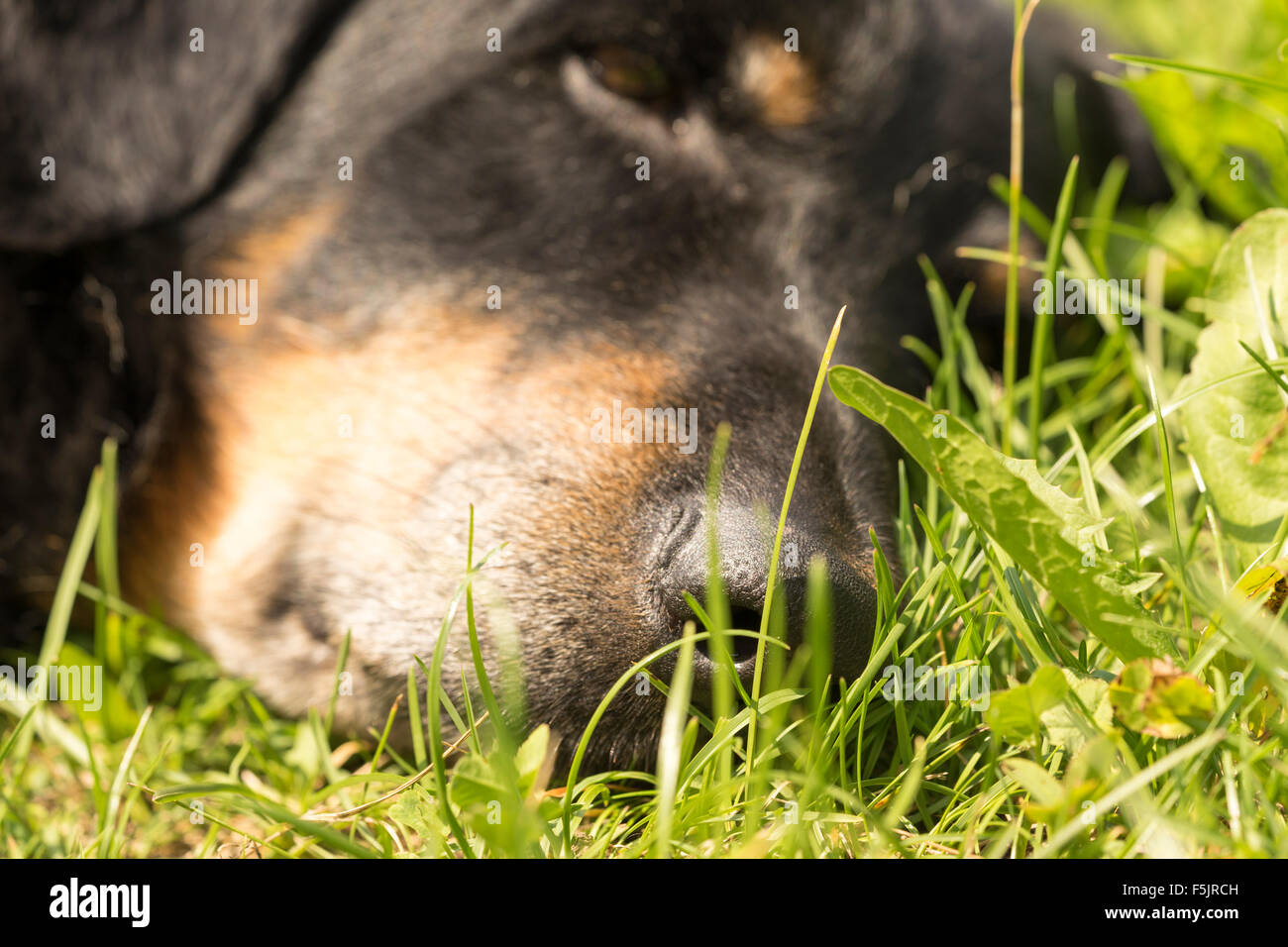 Tired dog snoozing on a lawn close up - Stock Image