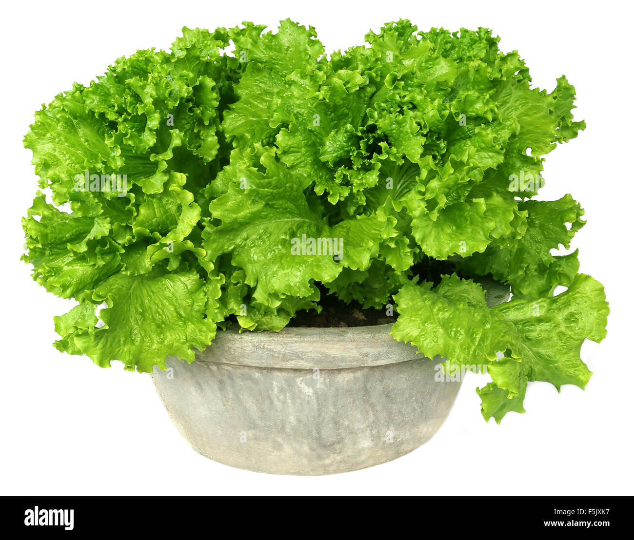 Lettuce in a tub over white background - Stock Image