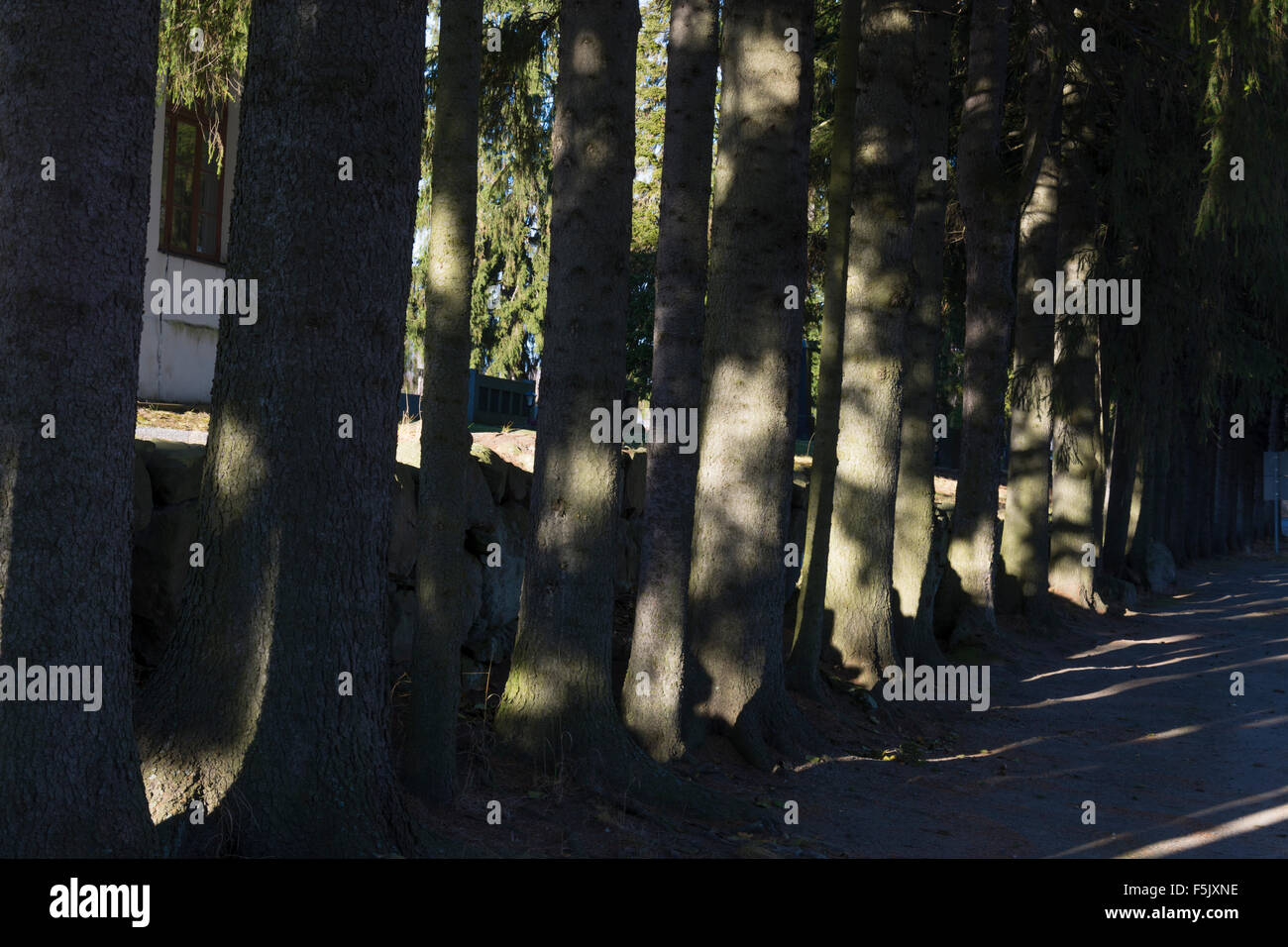 Old Spruces by the road side near St. Olof´s Church in Sysmä Finland - Stock Image
