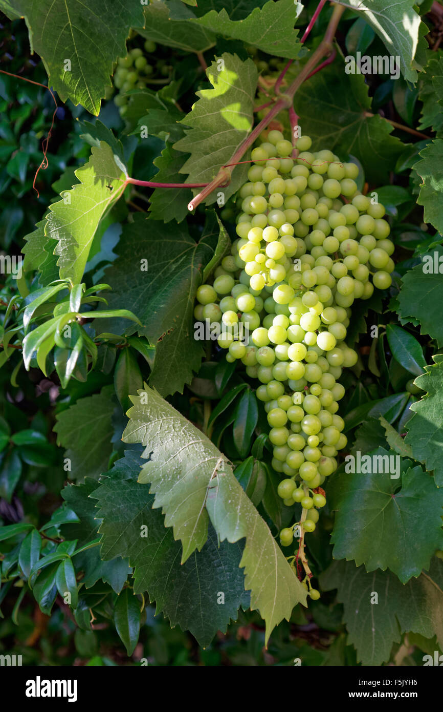 White grapes, island Corfu, Ionian Islands, Greece Stock Photo