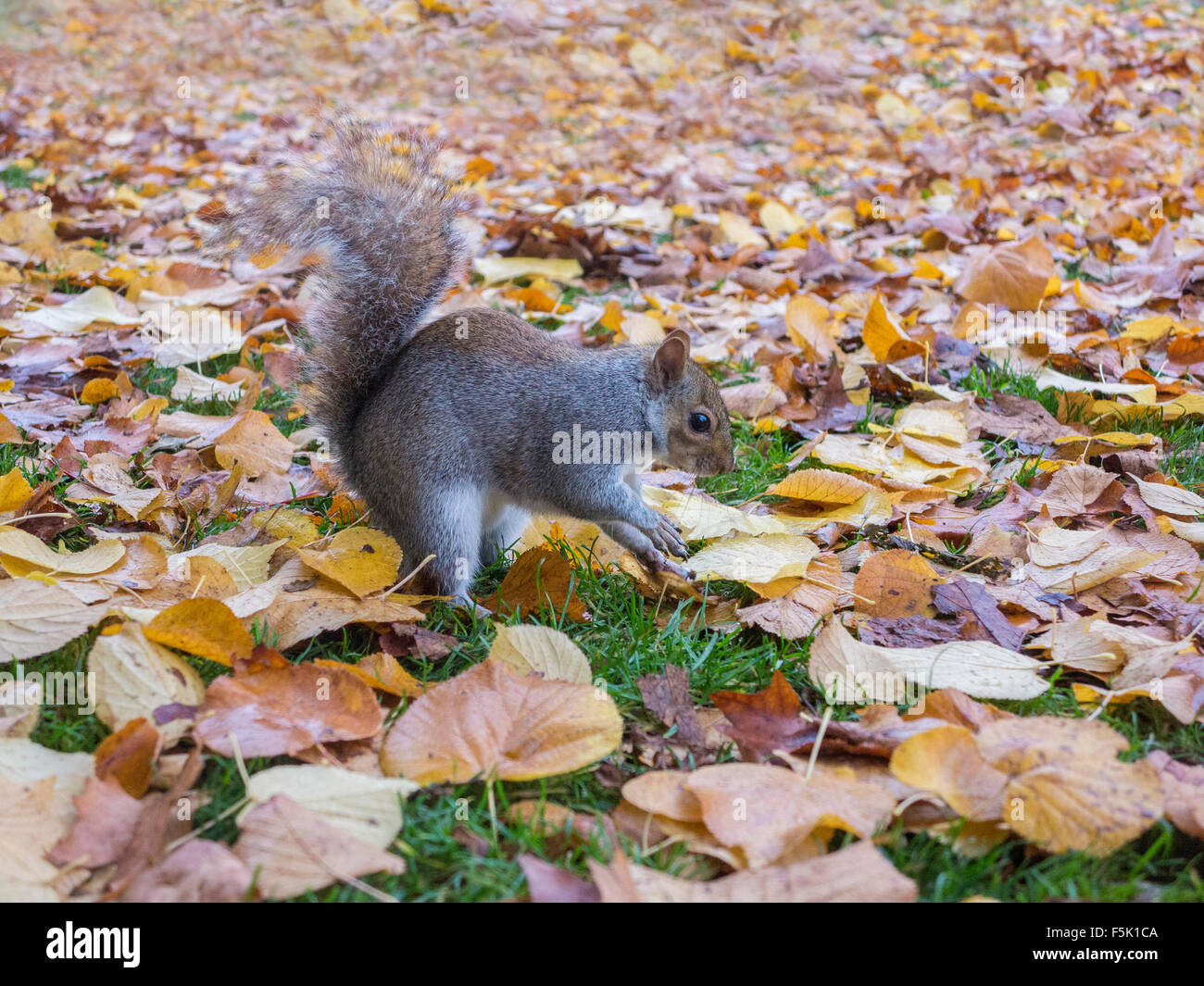 A squirrel looks inquisitive whilst burying nuts in the autumn leaves - Stock Image