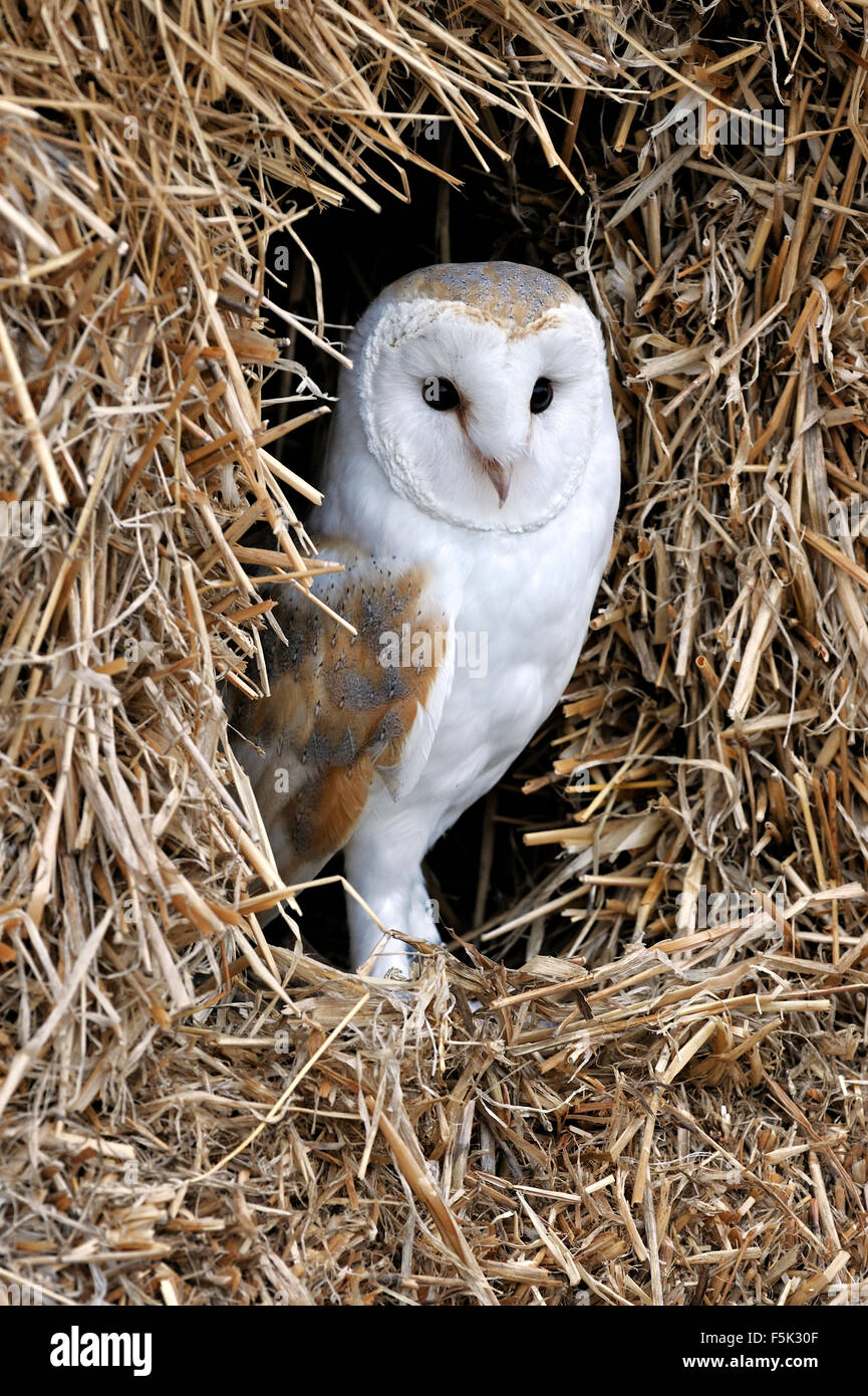 Barn owl (Tyto alba) in haystack / straw bale in barn - Stock Image