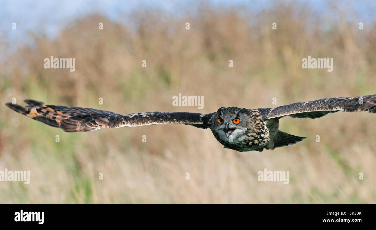 Eurasian eagle-owl / European eagle owl (Bubo bubo) flying over meadow - Stock Image