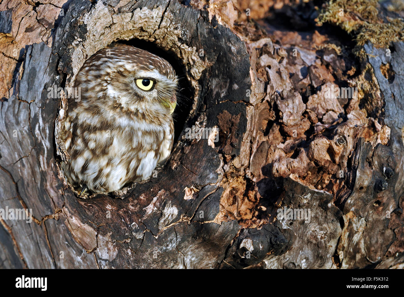 Little owl (Athene noctua) looking through nest hole in old tree - Stock Image