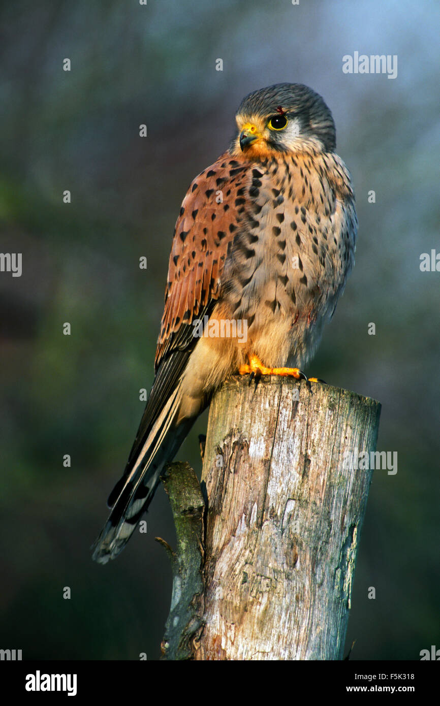 Common kestrel (Falco tinnunculus) male perched on fence post along meadow - Stock Image