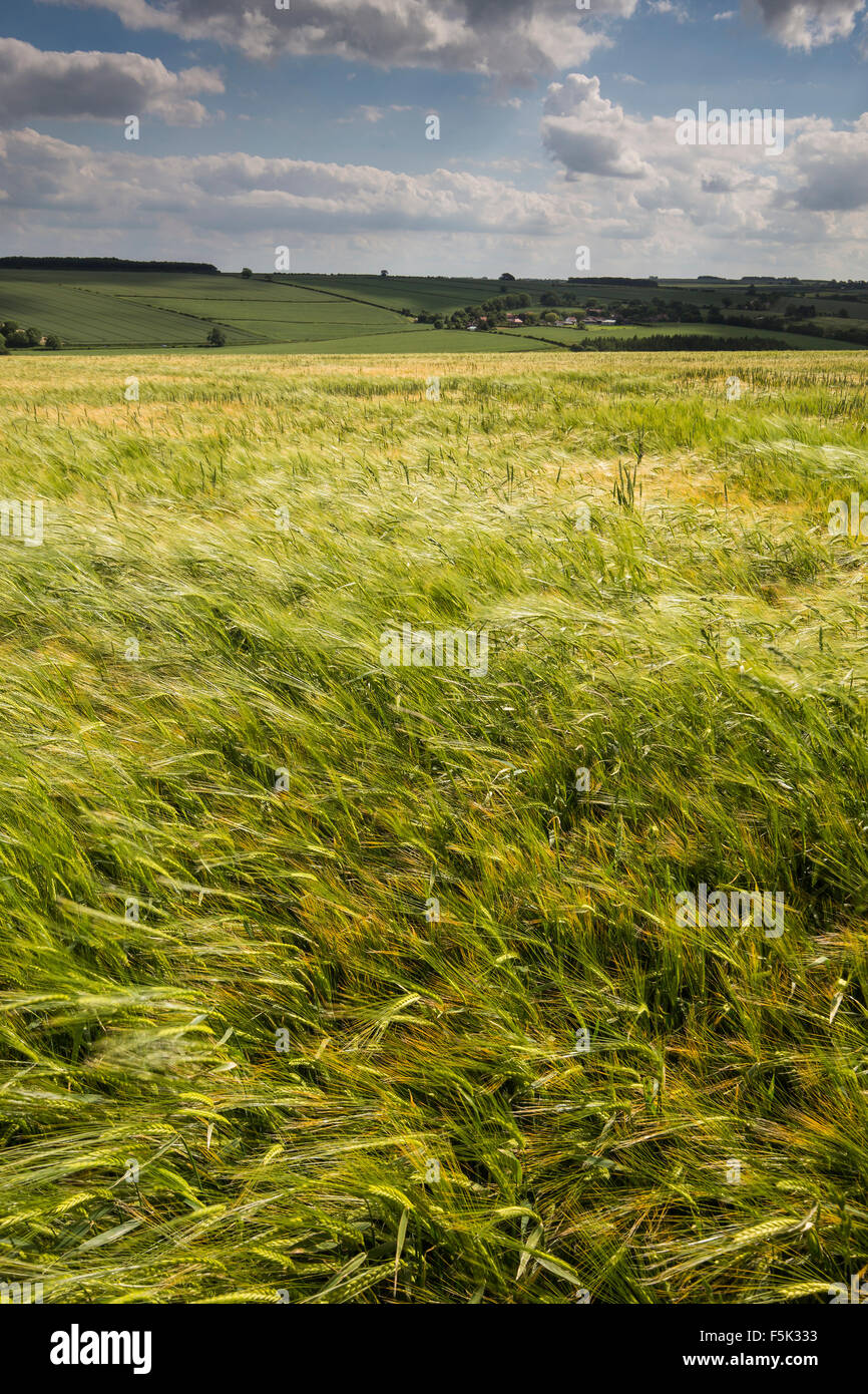 Barley Field neat Fimber, Yorkshire Wolds - Stock Image