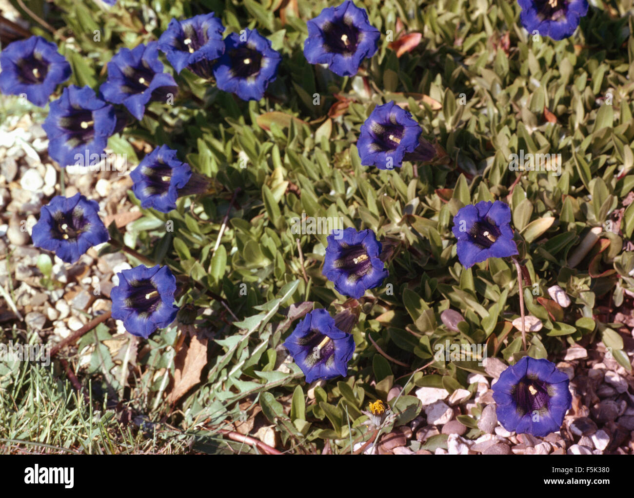 Close-up of blue Gentians - Stock Image