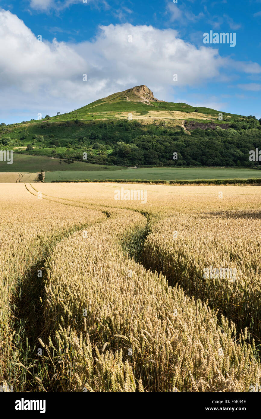 Ripe Wheat Field under Roseberry Topping, North Yorkshire - Stock Image