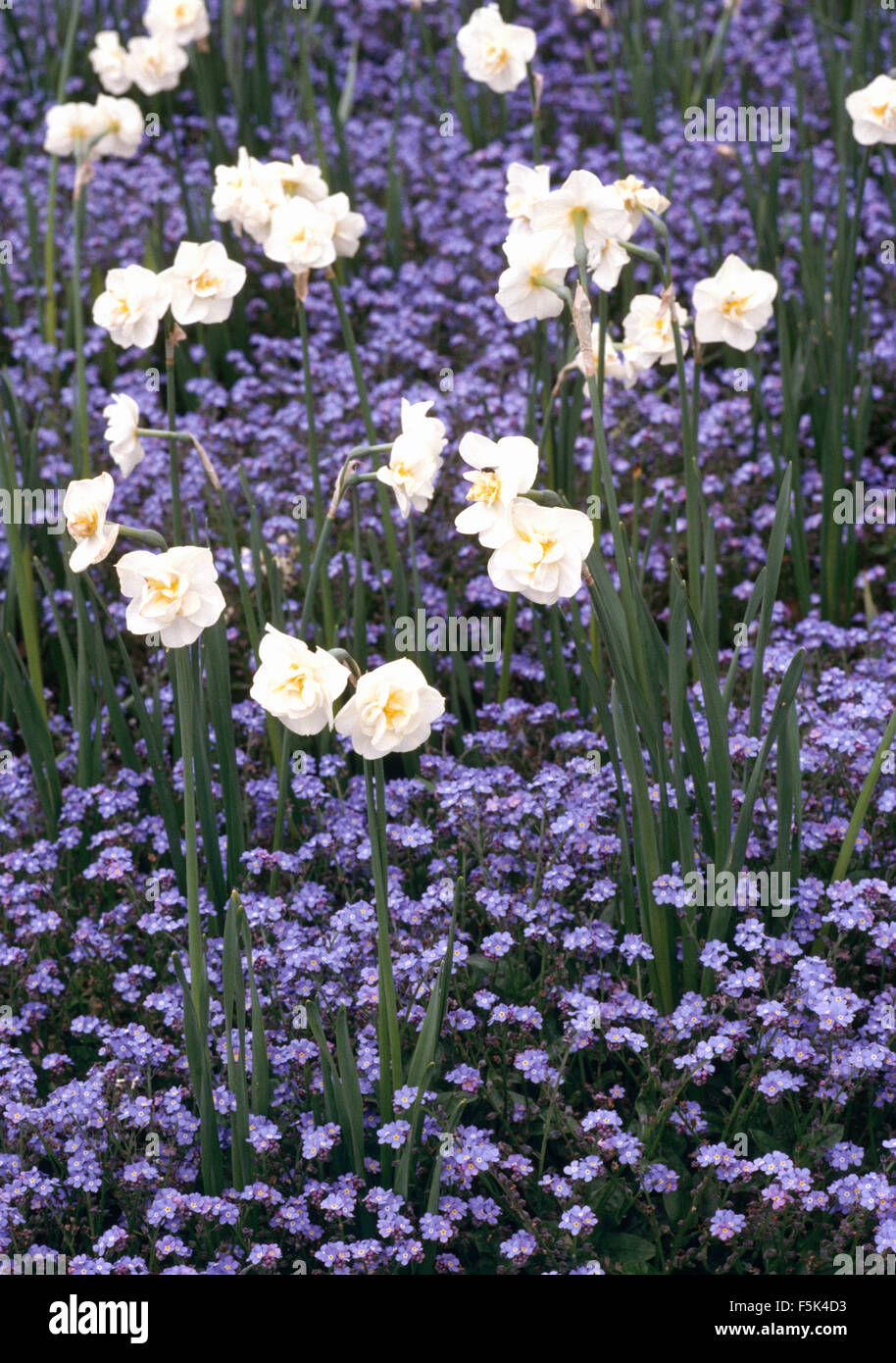 Close-up of Narcissus 'Cheerfulness' under-planted with blue forget-me-nots - Stock Image