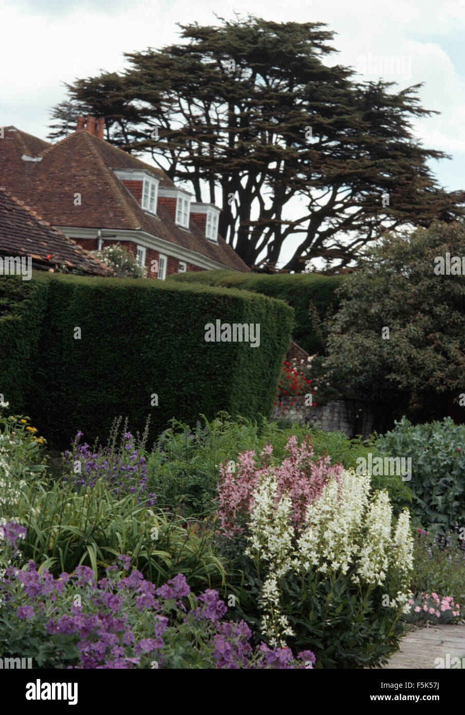 Blue geraniums and white perennials in border in garden with a clipped hedge and a cedar tree - Stock Image