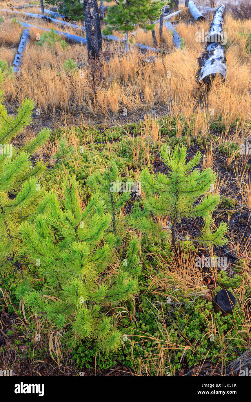 Small pine tree saplings on the forest floor in Idaho. - Stock Image