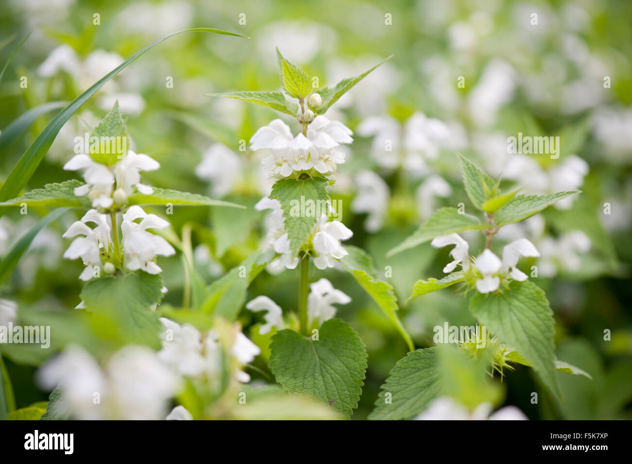 Lamium Album White Flowers Closeup Herbal Medicine Flowering Stock