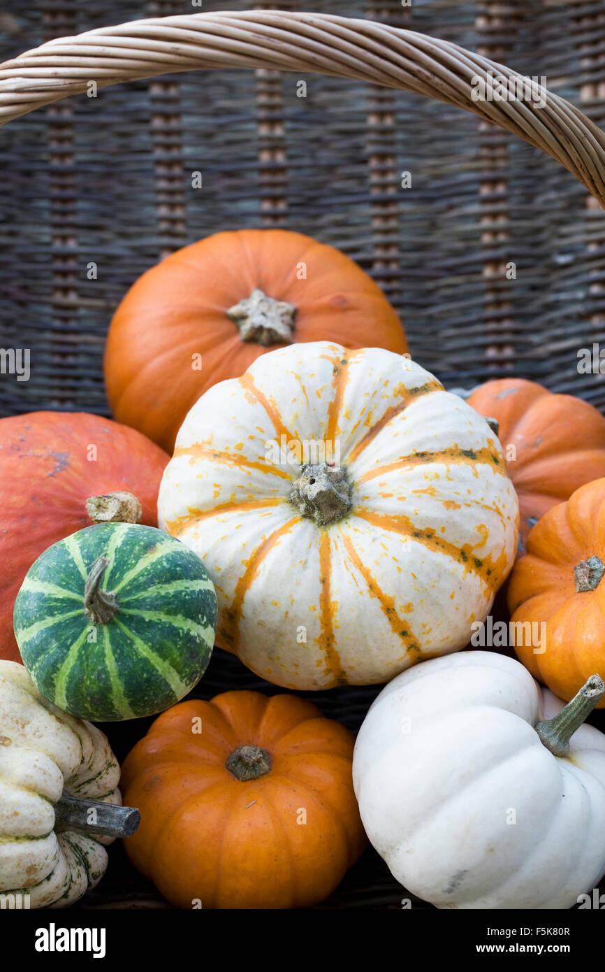 Cucurbita maxima. Basket of assorted squashes and pumpkins. - Stock Image