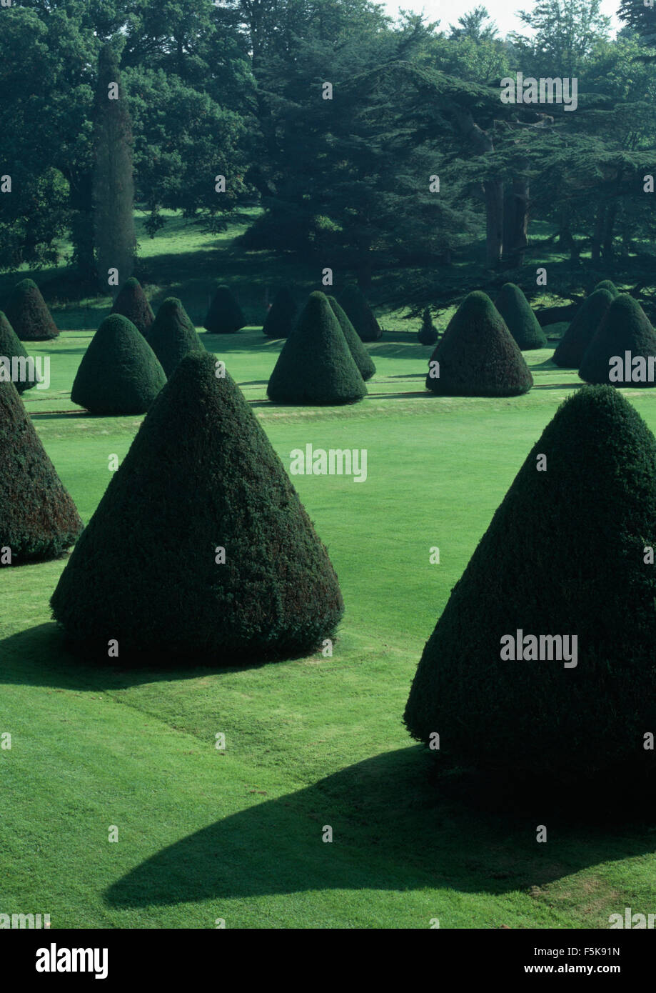 Topiary yew trees clipped into pyramids on lawn in large country garden - Stock Image