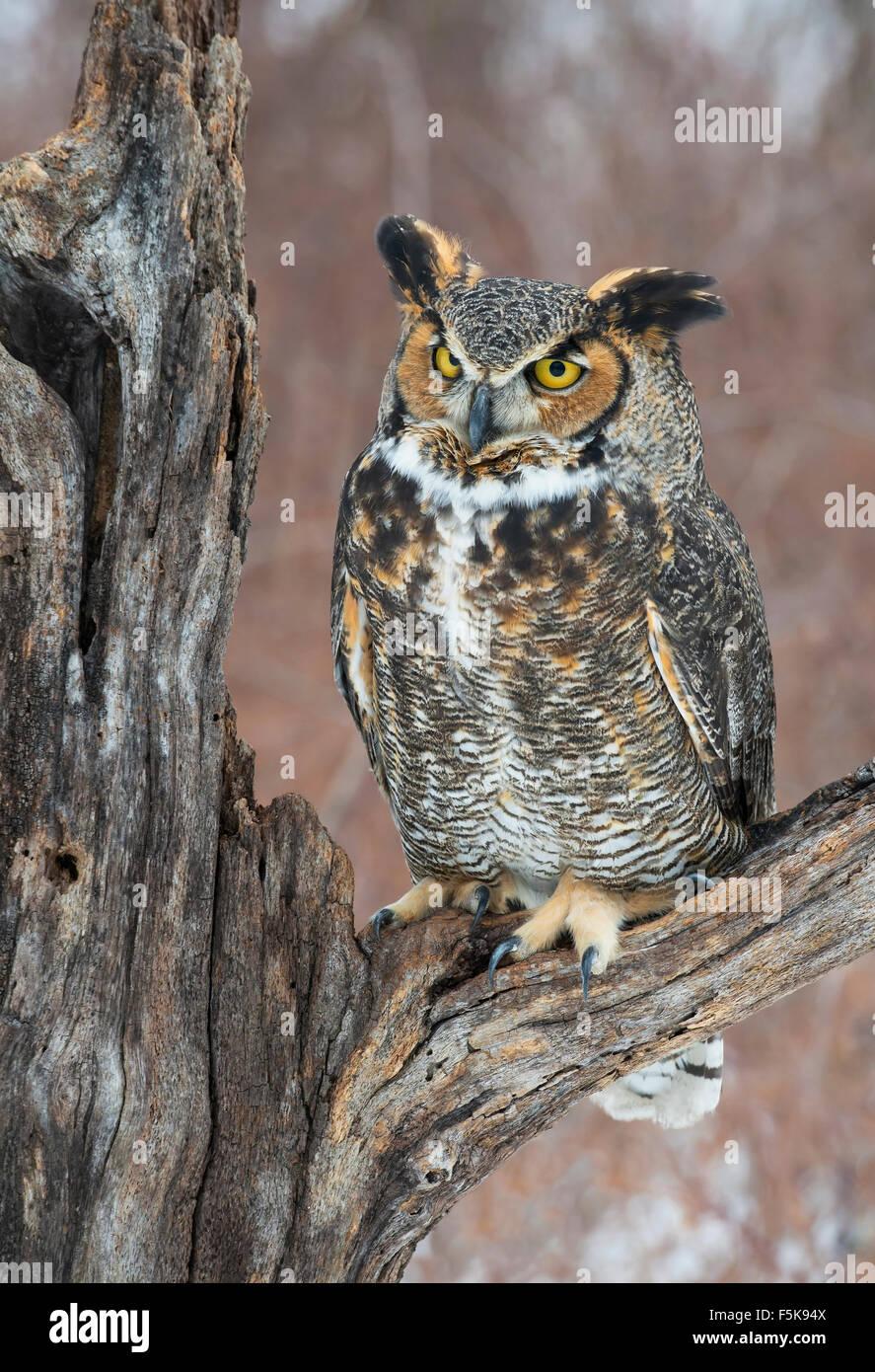 Great Horned Owl Bubo virginianus perched on stump Eastern N America, by Skip Moody/Dembinsky Photo Assoc Stock Photo