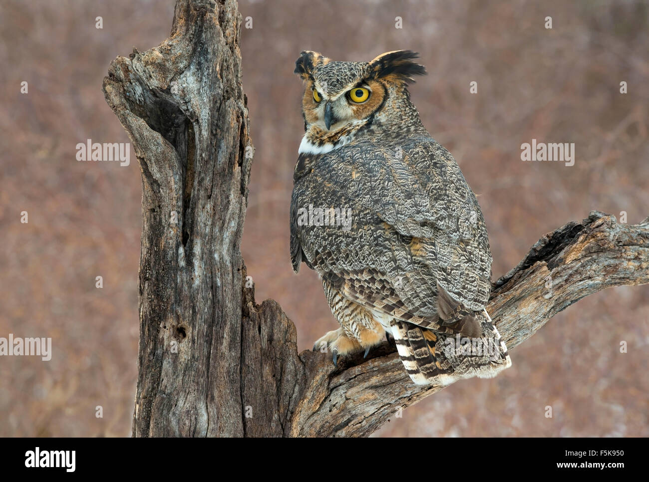 Great Horned Owl Bubo virginianus perched on stump Eastern North America - Stock Image