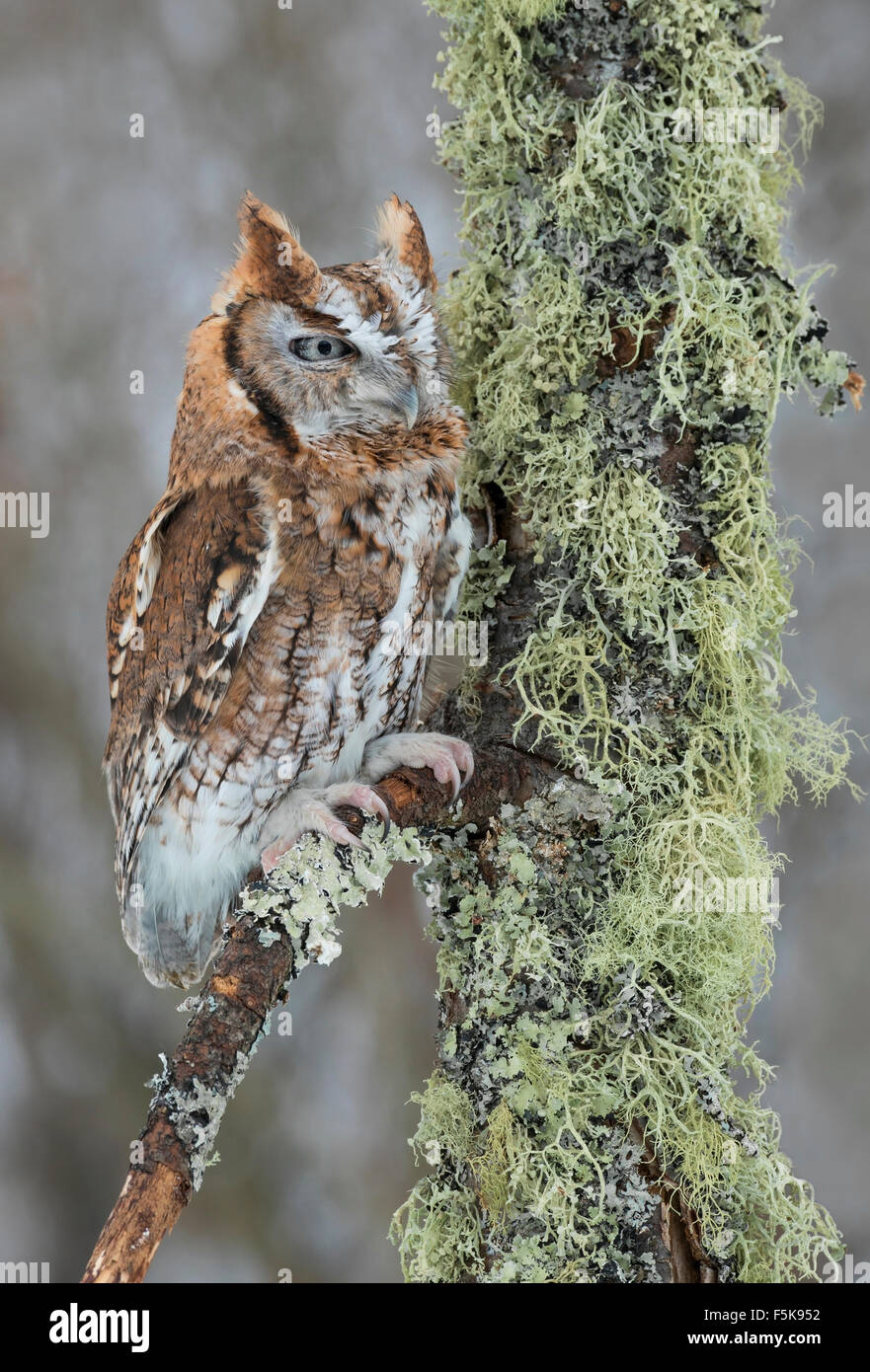 Eastern Screech Owl, Red phase (Megascops asio) sitting on lichen-covered branch, North America - Stock Image