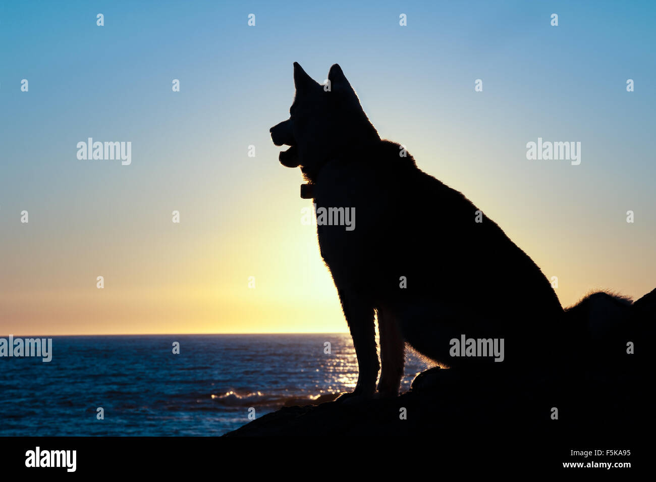 husky dog silhouette sit  at sunset on coast of Gulf of St Lawrence in Gaspe Peninsula,Quebec,Canada - Stock Image