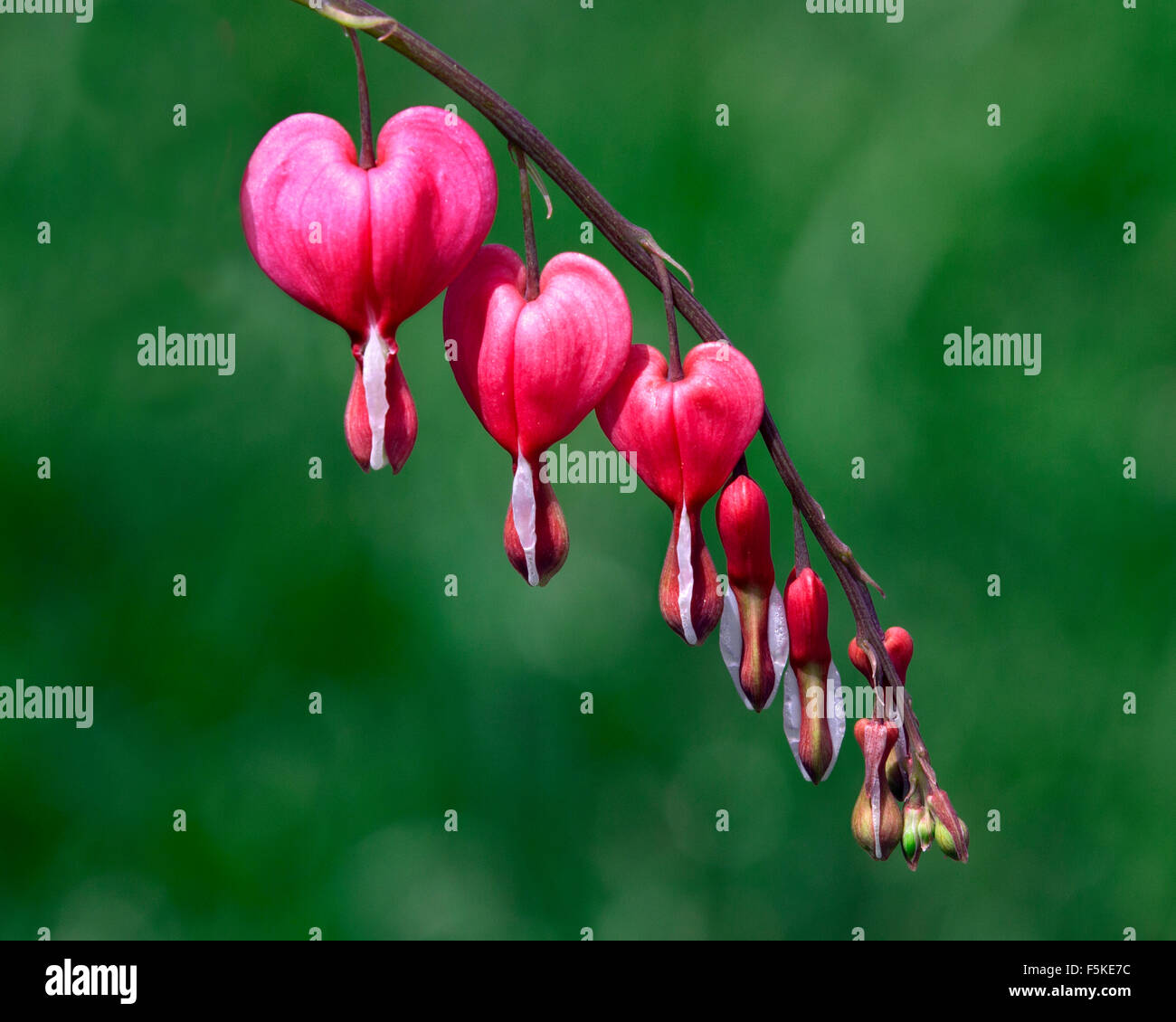 One of the most beautiful plants I have seen. This flower known as the Bleeding Heart does not bloom for long. Stock Photo