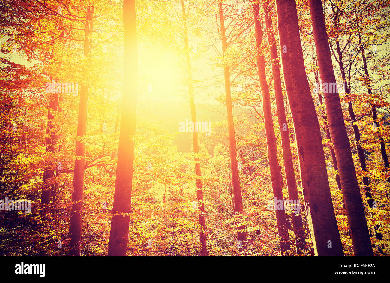 Retro toned picture of autumnal forest at sunset. - Stock Image