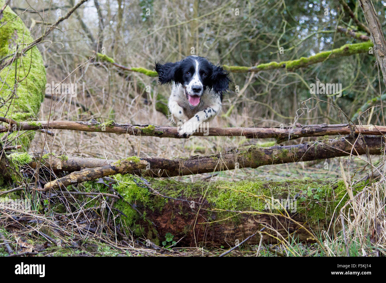 Springer spaniel jumping over a log jump leaping Stock Photo