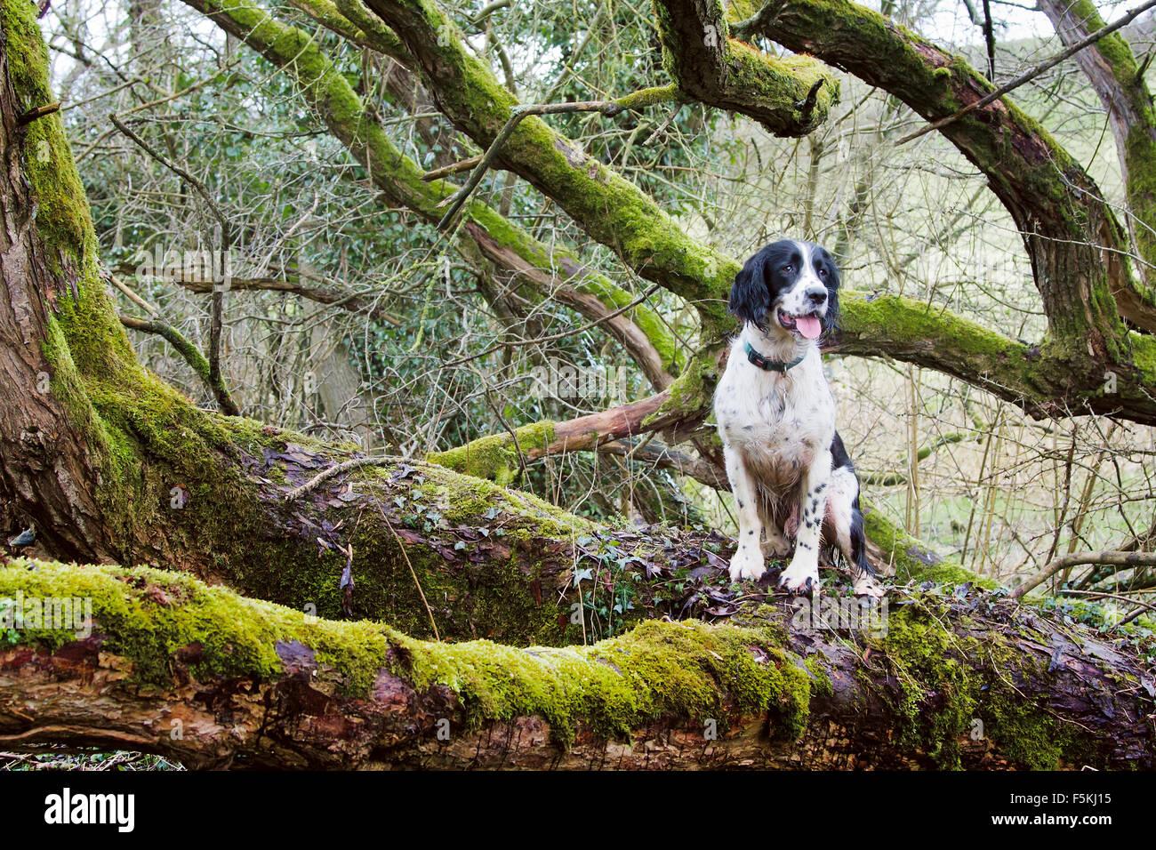 Black & White Springer Spaniel sat in a tree - Stock Image