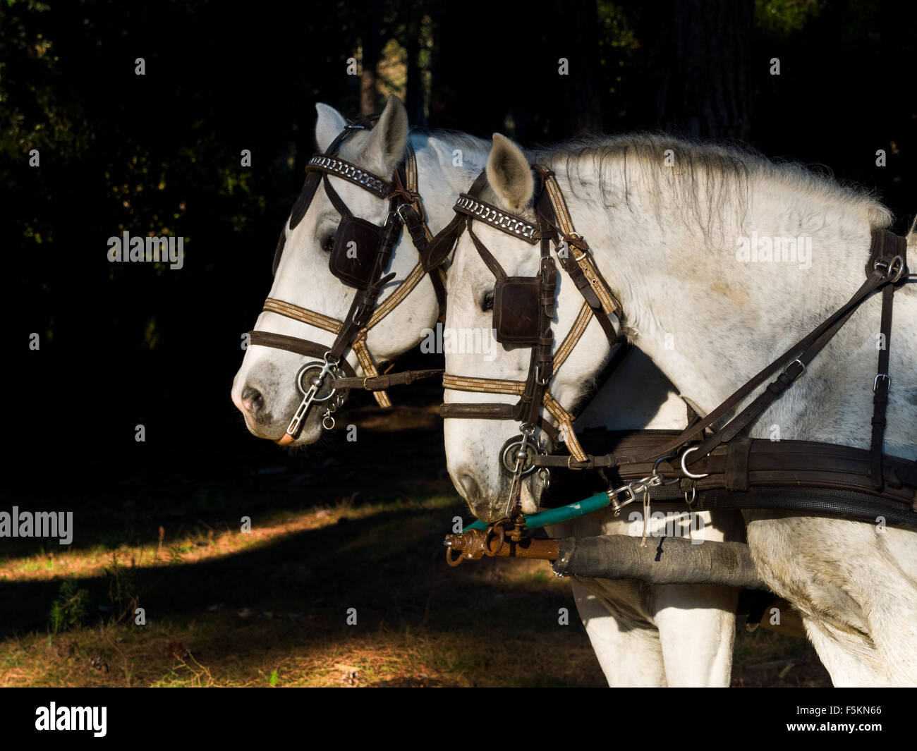 Profile Portrait of two  white work horses with harnesses and blinkers hitched to a wagon . dark background - Stock Image