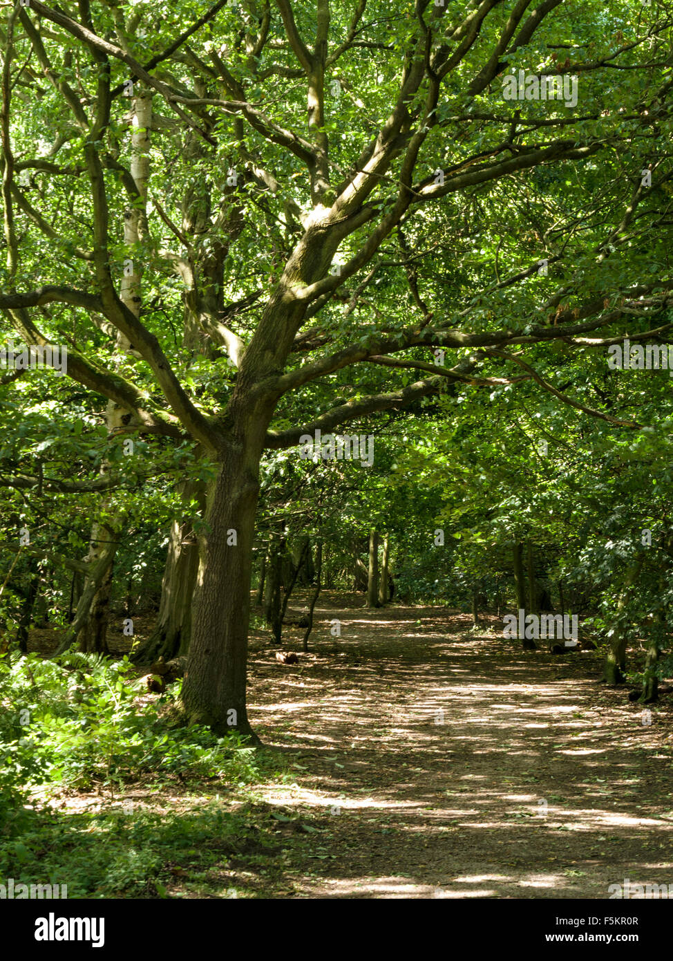 Dappled sunlight falling through trees onto woodland forest path by The National Forest Way, Derbyshire, England, - Stock Image