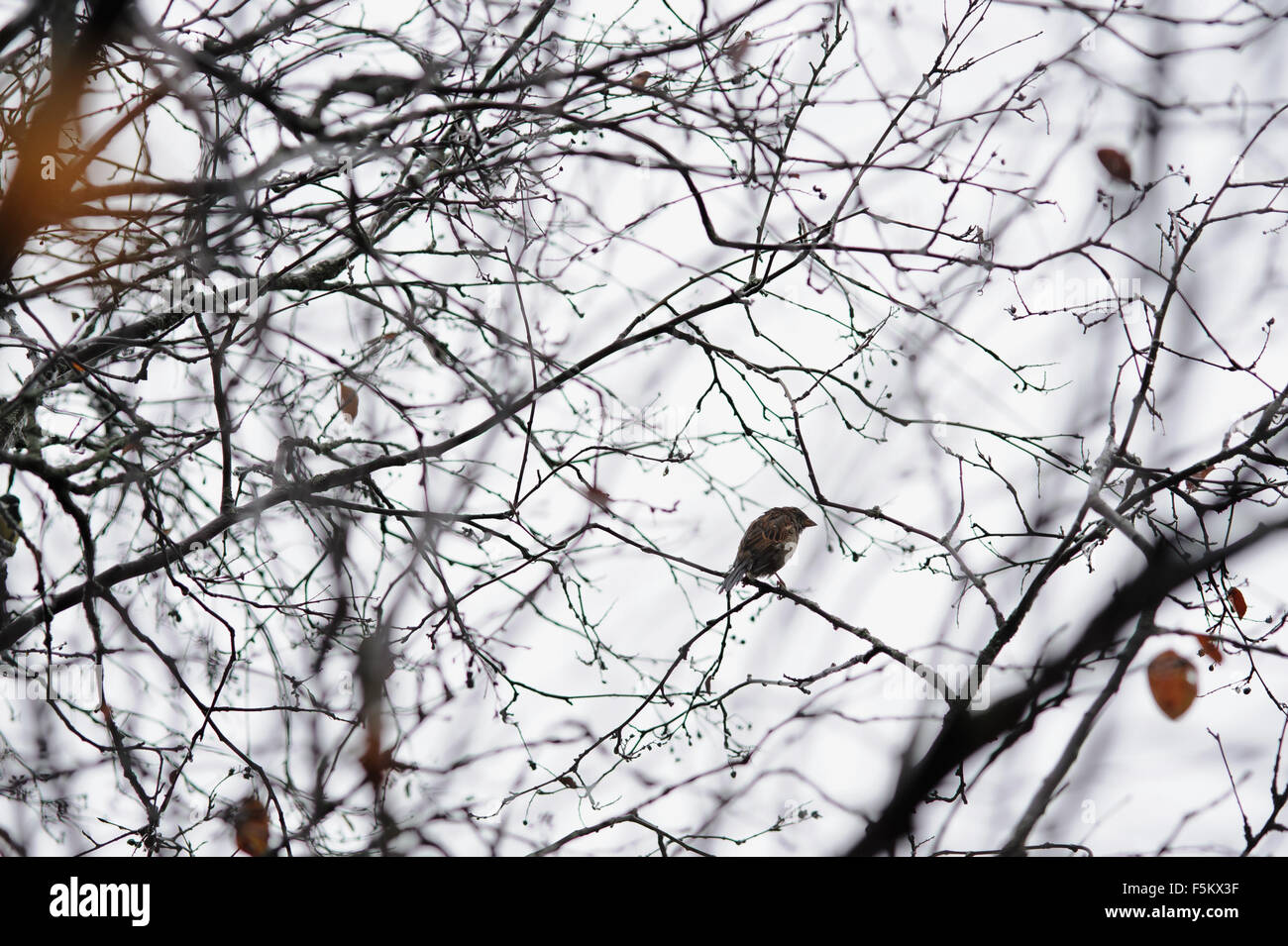 Lonely sparrow on empty tree branches in late autumn - Stock Image