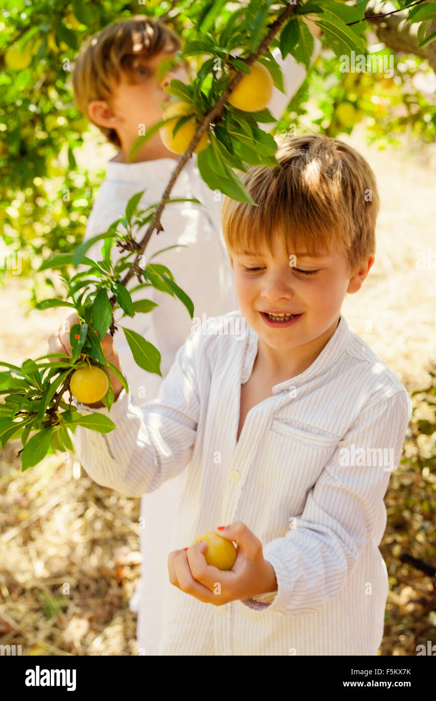 Spain, Menorca, Boys ( 4-5, 6-7) picking up fruits - Stock Image