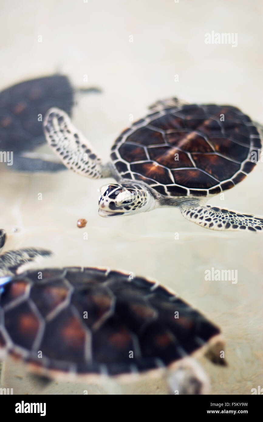 Mexico, Cancun, Sea turtle hunting underwater - Stock Image