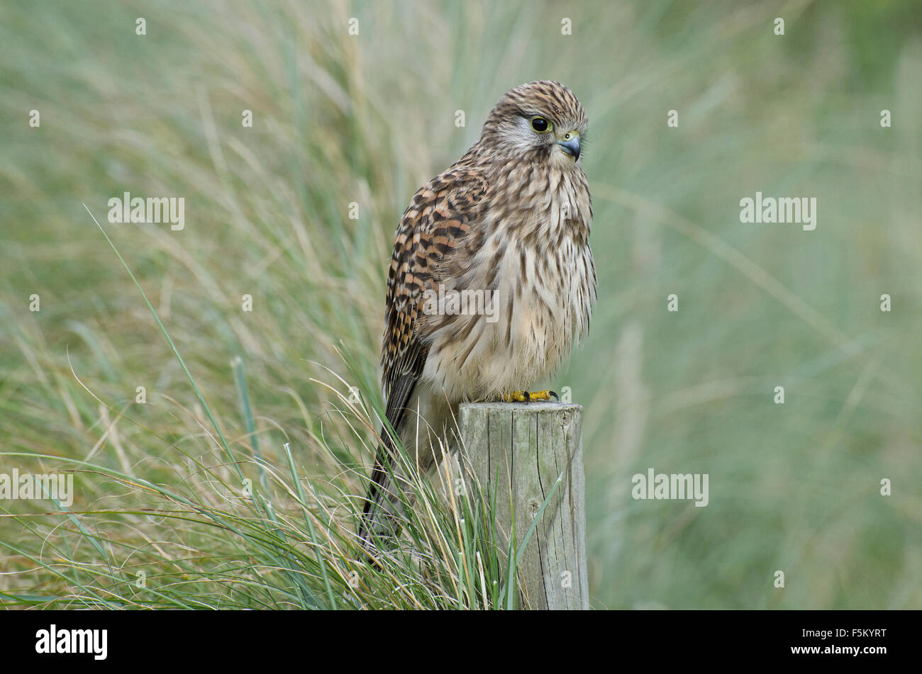 Common Kestrel perched on post in Lancashire, UK - Stock Image