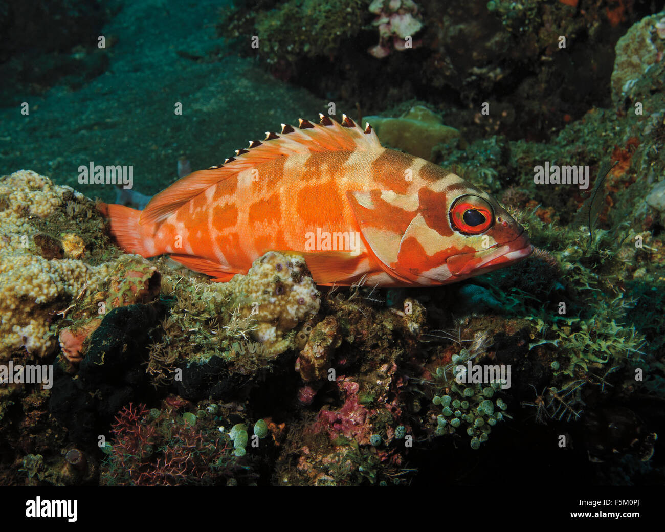 blacktip grouper (Epinephelus fasciatus) perched on coral in Bali Sea, Indonesia Stock Photo