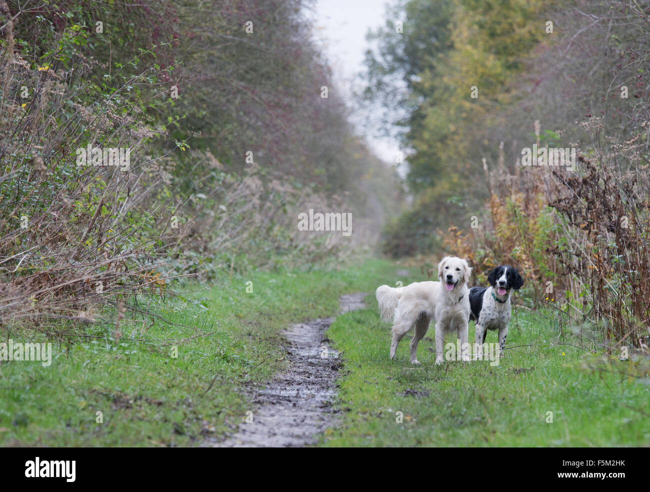 a Golden Retriever and springer spaniel working dogs - Stock Image