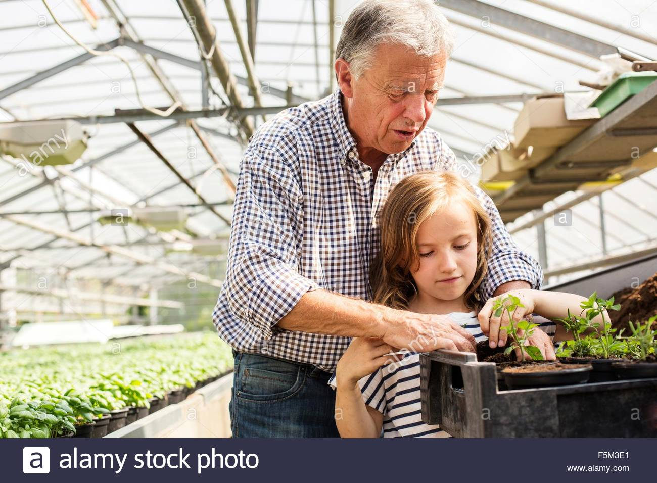 Grandfather teaching granddaughter to plant seedlings in hothouse - Stock Image