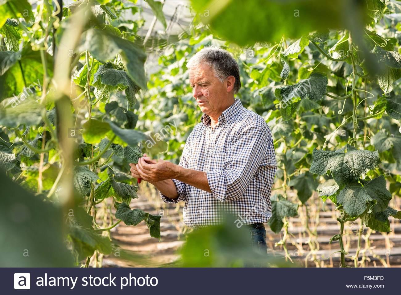 Senior man tending to cucumber plants looking down - Stock Image